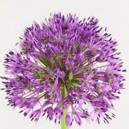 Allium Λιλά