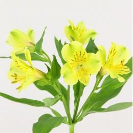 Αλστρομέρια Κίτρινη