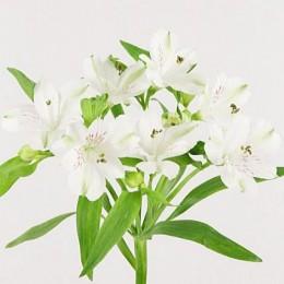 Αλστρομέρια Λευκή