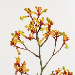 Ανιγκόζανθος Πορτοκαλί - Κίτρινος