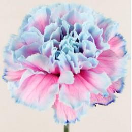 Γαρύφαλλο Ολλανδικό Δίχρωμο Γαλάζιο Ροζ
