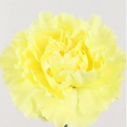 Γαρύφαλλο Ολλανδικό Κίτρινο Λεμονί