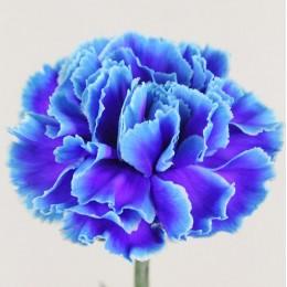 Γαρύφαλλο Ολλανδικό Δίχρωμο Μπλε Λιλά