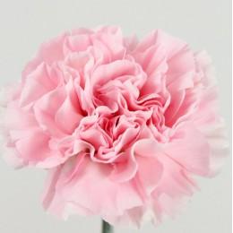 Γαρύφαλλο Ολλανδικό Ροζ