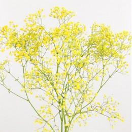 Γυψοφύλλη Κίτρινη Βαμμένη