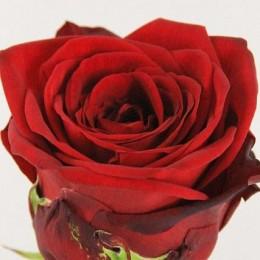 Τριαντάφυλλο Κόκκινο Naomi
