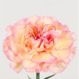 Γαρύφαλλο Ολλανδικό Δίχρωμο Σομόν Ροζ