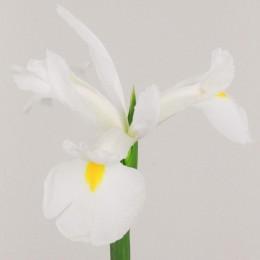 Ίριδα Λευκή