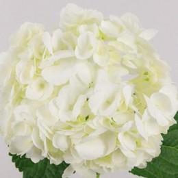 Ορτανσία Λευκή