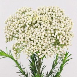 Rice Flower Λευκό