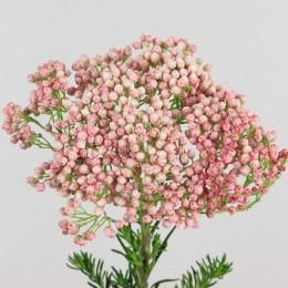 Rice Flower Ροζ
