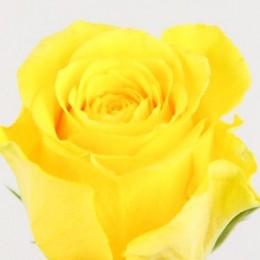 Τριαντάφυλλο Κίτρινο