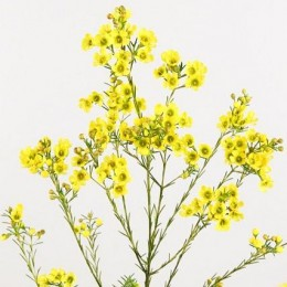 Wax Κίτρινο